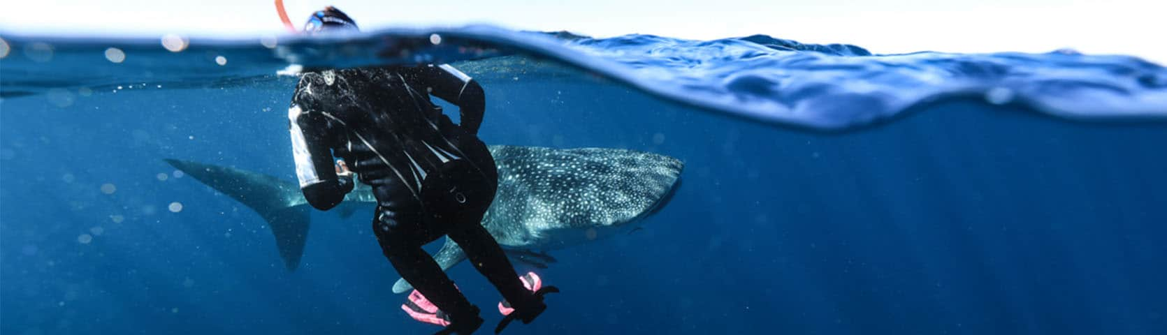 Swim with whale sharks at Ningaloo Reef with Coral Expeditions