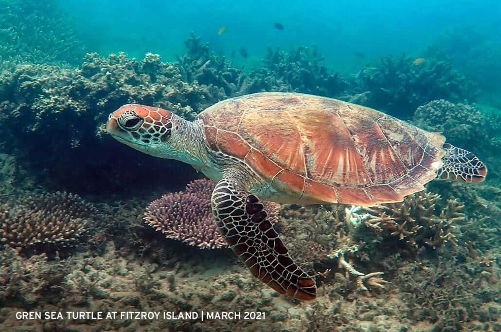 Green-Sea-Turtle-at-Fitzroy-Island-March-2021